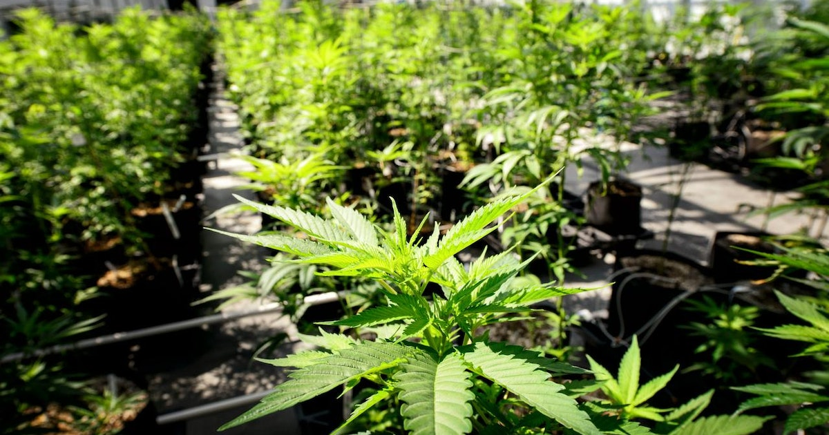 marijuana illegality Eighteen states (plus the district of columbia) allow cannabis use for certain medical conditions despite that, scientists have a harder time doing research on the potential medical benefits of marijuana than they do on harder drugs like ecstasy or magic mushrooms the public may think of pot use.