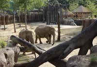 Elephants in the Dallas Zoo's Giants of the Savanna habitat. ( Kye R. Lee / The Dallas Morning News )