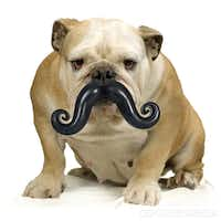 The pooch can go incognito with the Humunga Stache from Moody Pet. It has a rubber ball on one end and a giant cartoon mustache on the other. It comes in three sizes and doubles as a durable fetch toy. $11.50 to $14.50.