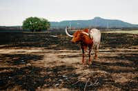 A longhorn bull stands in a burned out pasture near Graford, Texas. Cooler temperatures and high humidity helped firefighters contain the PK Complex Fire, which destroyed more than 160 homes in the area.