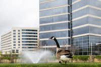 A goose walks around a water feature at the Granite Park office park on the southwest corner of SH 121 and the Dallas North Tollway photographed Wednesday, March 30, 2016, in Dallas. (Smiley N. Pool/The Dallas Morning News)(Smiley N. Pool - Staff Photographer)