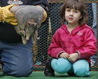 Annabella Thompson, 3, waits to compete in an armadillo race.( Staff photo by ROSE BACA  -  DMN )