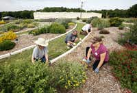 Robin Lankford (foreground left), Judy Aerdts (foreground right), Bruce Batman (center) and Greg Church weed the perennial beds. Church, Collin County horticulture extension agent, is overseeing the research to find the best perennials for the North Texas area.
