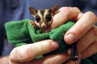 Braden Brown holds one of two pet sugar gliders (flying marsupials) that he held while he, his wife, dog and cat waited out the tornadoes April 3, 2012, in their 6-month-old safe room.