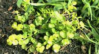 Lysimachia aurea, also known as golden creeping jenny, does well in soggy spots of native clay.