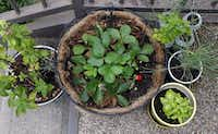 Corey Stefanowicz, a 26-year-old guy who gardens at his apartment in Oak Cliff, has several container gardens on his front porch, including a strawberry plant (center), basil and chives.( Lara Solt  -  Staff Photographer )