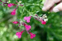Autumn sage (Salvia greggii) is a dependable bloomer. Hybrids have been developed in many colors and bicolors.Lara Solt - Staff Photographer