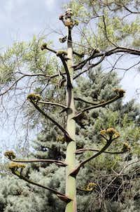 The Agave parryi in the Simpson collection has finished blooming, but now seed pods are forming on the giant stalk.Lara Solt  -  Staff Photographer