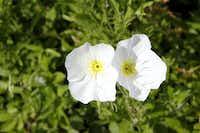 Evening primrose (Oenothera pallida), especially valuable to native bees, is a good choice for a moon garden.Lara Solt - Staff Photographer