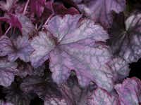 'Dolce Blackcurrant' offers purple leaves with silver highlights.