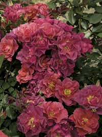 'Cinco de Mayo' is a smoke/orange/purple blend that is in bloom until the first freeze.