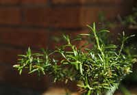 Herbs such as rosemary are beginning to claim garden spots once reserved for ornamental plants.Mona Reeder  -  Staff Photographer