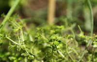 Herbs such as thyme are claiming garden spots once reserved for ornamental plants. Diane Weiss is one of a growing number of gardeners who uses edible plants in her ornamental landscape.Mona Reeder  -  Staff Photographer