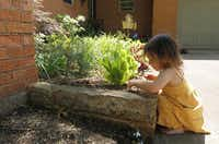Diane Weiss' 2-year-old granddaughter, Maddie Dracopoulos, looked for bugs among the carrots, tarragon, basil, dill and rosemary accompanying a Japanese maple in Weiss' garden.Mona Reeder  -  Staff Photographer
