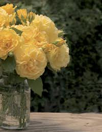 'Julia Child' is regarded by many as the best yellow for North Texas.