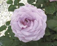 'Koko Loko' rose opens milk chocolate and finishes lavender. It is especially heat tolerant.