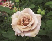 'Koko Loko' rose opens milk chocolate and finishes lavender.