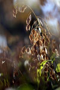 Inland sea oats' seed heads will not harm backyard hens if they peck at them.