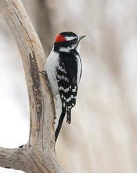The downy is the smallest of the local woodpeckers.