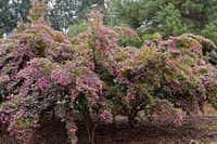 Some hybrids, such as 'Razzleberri,' can be trained into graceful specimen shrubs or small trees.