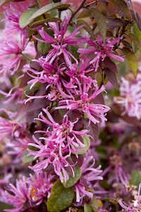 'Sizzling Pink' stands at 4 to 6 feet tall with 4- to 5-foot mounding spread. It has reliably purple-tinged foliage in summer and a reblooming habit.