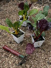 As summer winds down, plant Swiss chard and collards for the fall.File  -  Staff Photo