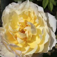 'Feu Pernet-Ducher,' a hybrid tea from 1935, is yellow with pink shading and a strong, fruity fragrance.