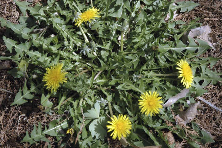 Get to know 14 weeds every Texan hates | Dallas News | Life | Dallas