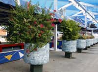 Bougainvilleas have been in bloom at the State Fair of Texas this summer, nurtured by water from wells on the grounds.