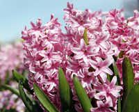 Follow your nose to find the sweetly perfumed 'Pink Surprise' hyacinths.( Ben Torres   -  Special Contributor  )
