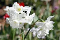 'Thalia' narcissus( Ben Torres  -  Special Contributor )