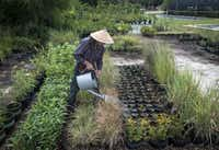 Johnson, an organic horticulturist and native-plant enthusiast, feeds his plants a mixture of seaweed and fish emulsion. He collects the seeds from prairies and grows them in a small plot at Ron's Organics in Mesquite.Rex C. Curry  - Special Contributor