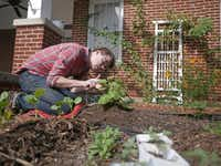 Robert Kent removes squash vine borer eggs with tweezers from the undersides of pumpkin leaves.(Ron Baselice - Staff Photographer)
