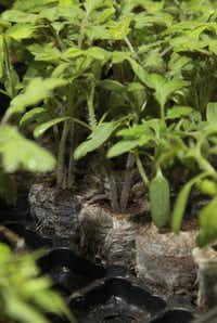 Tomato plants are just some of the seeds you can start indoors now.
