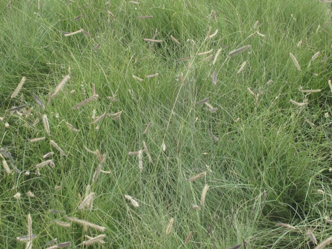 Best ornamental grasses dallas news life dallas news bouteloua gracilis is a native texas grass that is now being used as a tough ornamental grass for gardens and landscapes workwithnaturefo