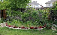 This is part of Brian von Merveldt and his wife Nokâs vegetable and fruit garden. They grow Star fruit, Mango, Sapodilla, lemons and other items.Shot on Wednesday, May 21, 2014 in Coppell, Texas.David Woo  -  Staff Photographer