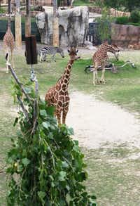 A giraffe at the Dallas Zoo eyes a tasty bundle of fresh tree limbs while other giraffes and zebras forage nearby. The zoo has begun a program that includes getting tree limbs from local trimming companies.(David Woo - Staff Photographer)