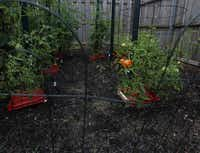 This section of Nevil's tomato patch is cultivated using organic methods. The red trays at the base of plants is a product designed to feed, water, mulch and reflect light that she is trying out this summer. She says she believes it also has prevented soilborne blights from infecting her plants.( MONA REEDER  -  Staff Photographer )