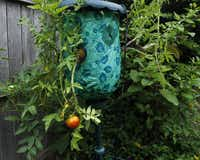 An upside-down planter is bearing tomatoes. Nevil's tomato plots are a virtual testing ground for all kinds of tomato-related products.( MONA REEDER  -  Staff Photographer )