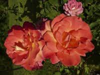 Hybrid tea rose 'Rio Samba'