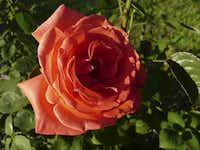 Hybrid tea rose 'Tropicana'