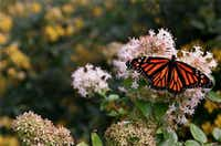 Abelia, a common, tough shrub, is a top butterfly draw.( File  -  Staff Photo )