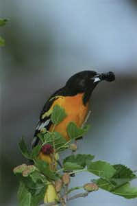 A male Baltimore Oriole on a mulberry tree on the northeast side of White Rock lake. Photo by George Boyd