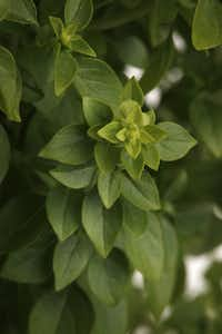 'Boxwood' basil is a compact plant, good for containers and the front of the flower border.