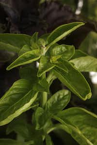 Sweet basil is commonly available because it is used for culinary purposes.