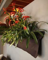 No desk space for indoor plants? Woolly Pocket (woollypocket.com) is a relatively new invention for creating living walls indoors. This one, in a studio near Fair Park, features colorful bromeliads.File - Staff Photo