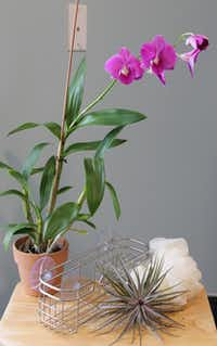 The orchid caddy for the shower is easy enough for anyone to compose. You need a caddy that will attach to the shower stall or hook over the top, a small orchid, a plastic loofah, and sphagnum moss to hide the plastic.
