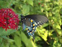 The pipevine swallowtail feeding on pentas, whose large flower clusters attract many butterfliesDale Clark  -  Butterflies Unlimited