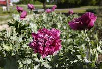 The only trick to growing annual poppies is broadcasting the seed at the right time, in late summer or early fall.