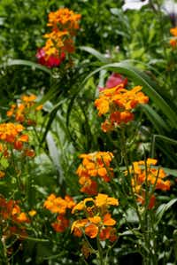 New wallflower hybrids have expanded the color palette of this old-fashioned plant.